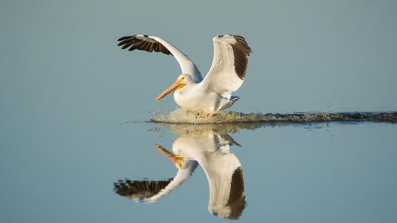 web_american_white_pelican_gbbc_6990_american_white_pelican_georgia_wilson_viera_rockledge_fl2014_behavior_kk_1