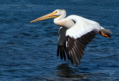 white-pelican-flying